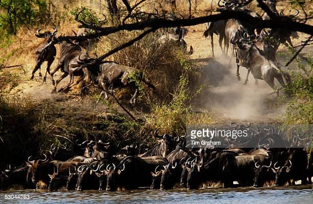 Herd of Blue Wildebeest Grumeti Tanzania