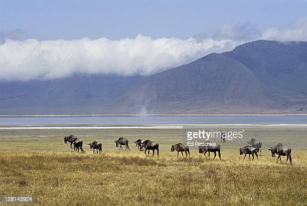 herd of blue wildebeests, connochaetes taurinus, on savanna, ngorongoro crater, tanzania. - ed reschke photography stock photos and pictures