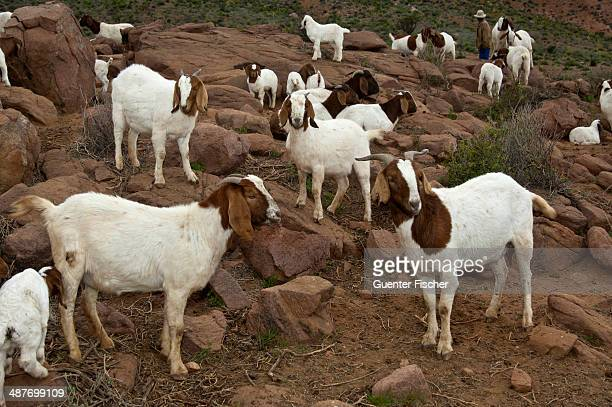 Herd of Boer Goats, near Kuboes, Richtersveld, Northern Cape Province, South Africa