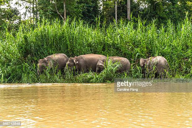 Herd of Borneo Pygmy Elephants grazing at the riverbank.