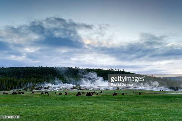 A herd of buffalo graze in front of Upper Geyser Basin in Yellowstone National Park, Wyoming.