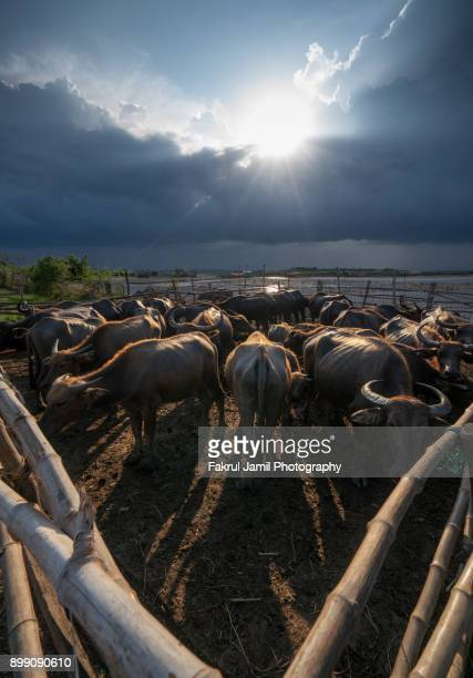 a herd of buffalo in a cage near thailand - bialowieza forest photos et images de collection
