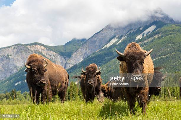 herd of buffalo or bison, alberta, canada - buffalo stock pictures, royalty-free photos & images