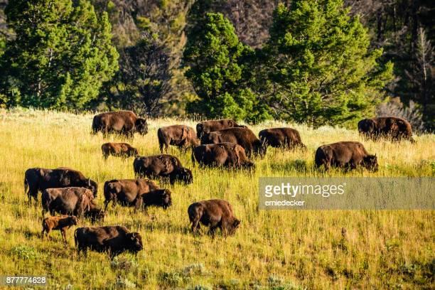 Troupeau de buffalo