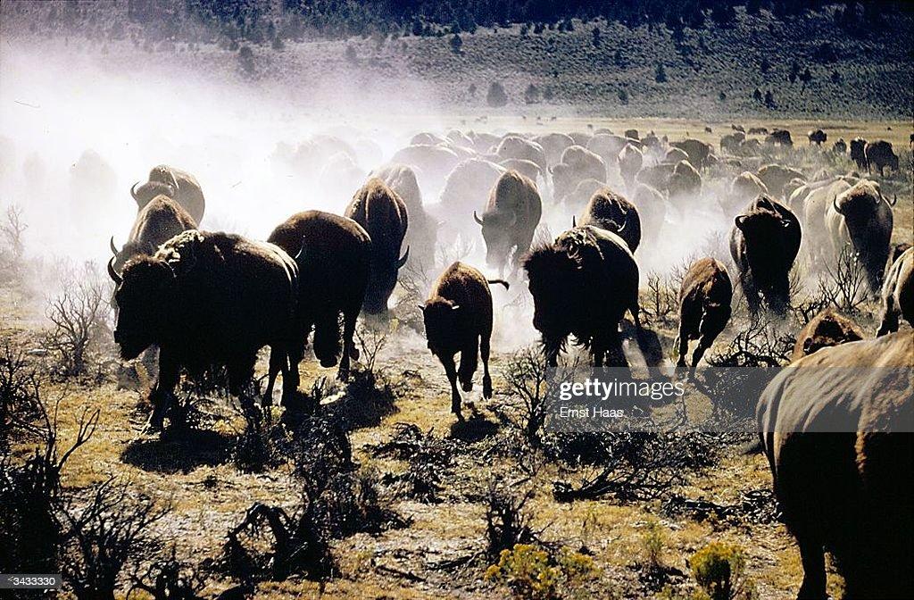 Running Buffalo : News Photo
