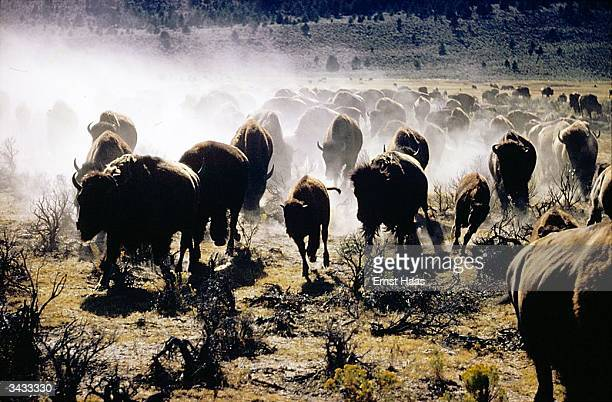 A herd of buffalo running towards the camera a shot taken during the filming of 'The Oregon Trail' Image Appears America In America book