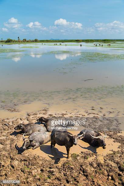 Herd of buffaloes in Thale Noi
