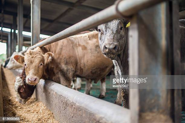 Herd of bulls in a pen