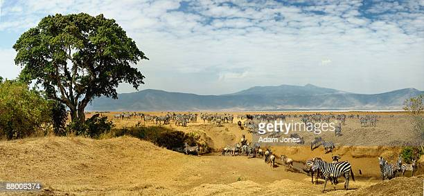 Herd of Burchell's Zebra and Wildebeest