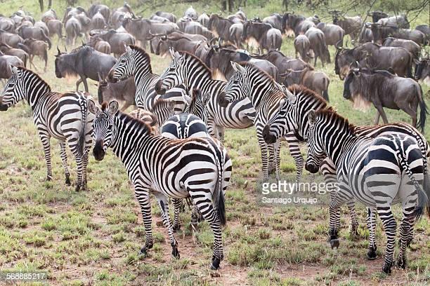 Herd of Burchell's Zebras during the migration