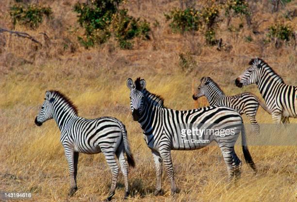 Herd of Burchell's Zebras in Moremi National Park Botswana