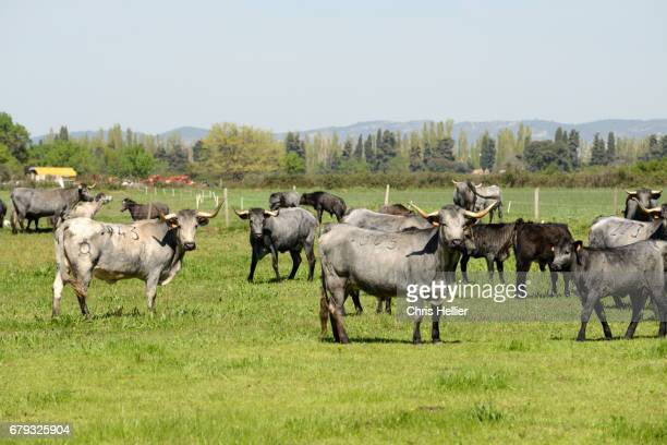 Herd of Camargue Cattle