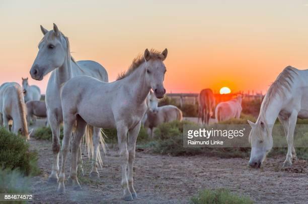 Herd of Camargue Horse at Sunrise, Saintes-Maries-de-la-Mer, Parc naturel régional de Camargue, Languedoc Roussillon, France