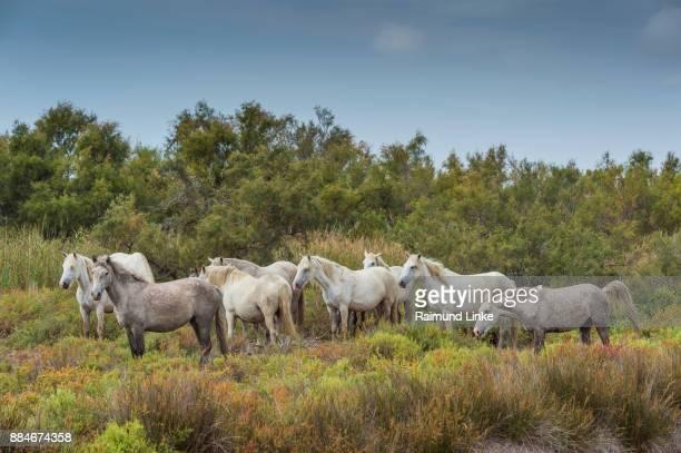 Herd of  Camargue Horse, Parc naturel régional de Camargue, Languedoc Roussillon, France