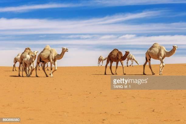 herd of camels in the desert, saudi arabia - camel active stock-fotos und bilder