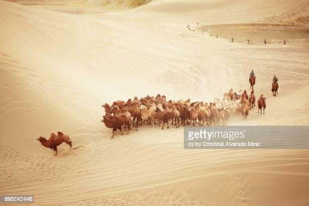herd of camels in the gobi desert - camel active stock-fotos und bilder