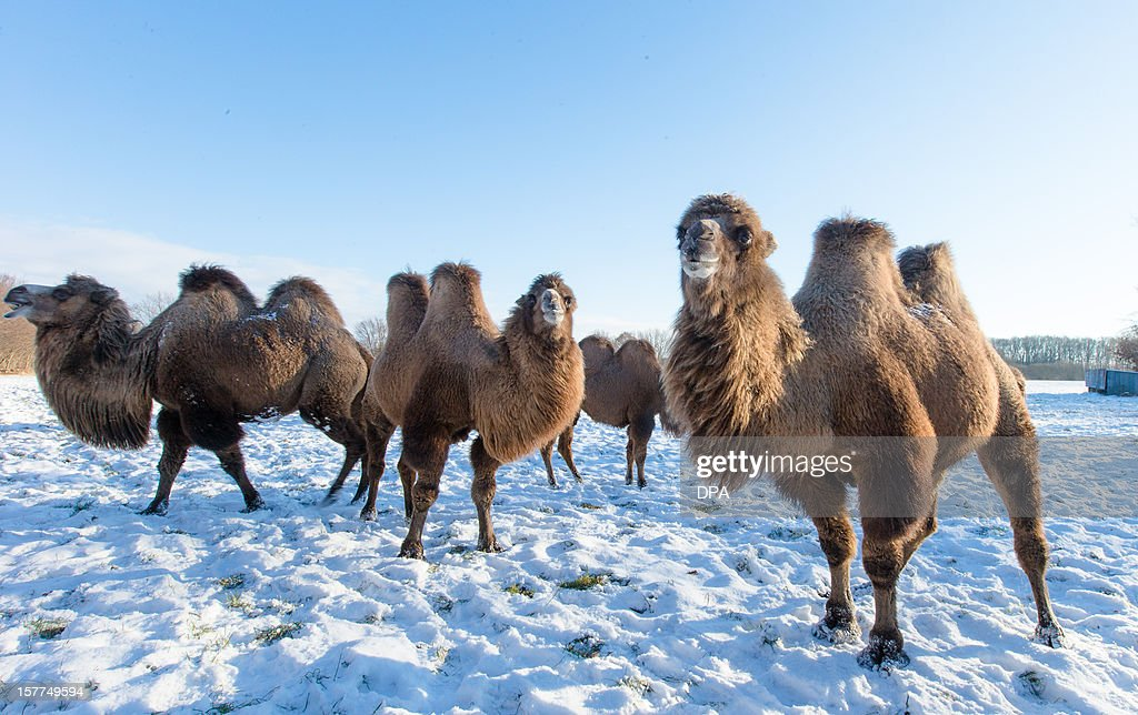 A herd of camels stand at a pasture on December 6, 2012 in Berkenthin, northern Germany. The herd belongs to trained veterinarian and farmer, and is used for film and television productions. AFP PHOTO / Markus Scholz /GERMANY OUT