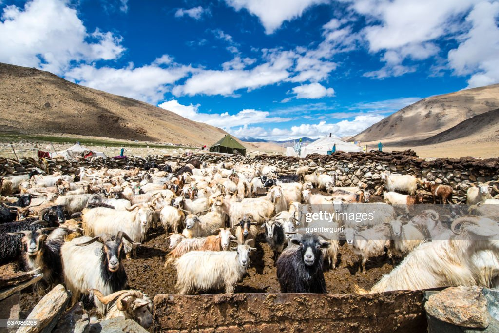 Herd of Cashmere (Pashmina) goats in Changthang, Ladakh : Stock Photo