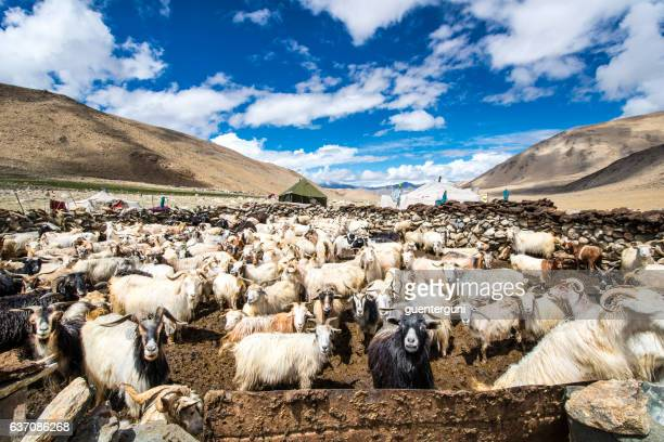 Herd of Cashmere (Pashmina) goats in Changthang, Ladakh