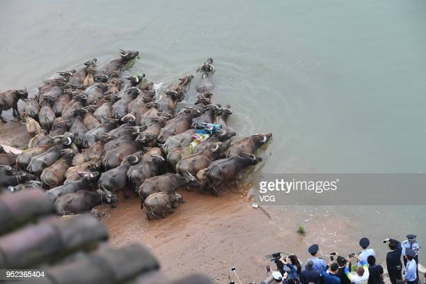 A herd of cattle cross the Jialing River for grass at Peng'an County on April 28 2018 in Nanchong Sichuan Province of China The activity of cattle...
