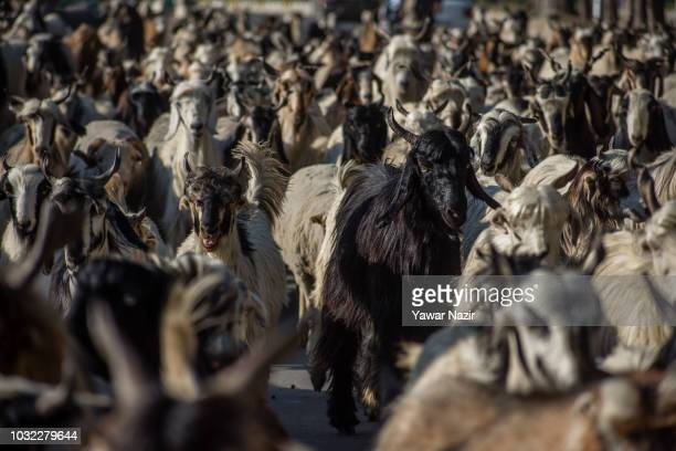 A herd of cattle follows a Kashmiri Muslim nomad on September 12 2018 in Srinagar the summer capital of Indian administered Kashmir India Kashmir the...