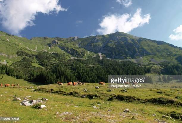 Herd of cattle grazing in grass