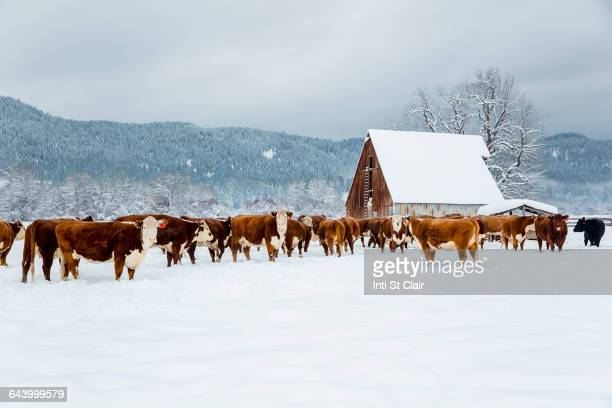 Herd of cattle in snowy farm field