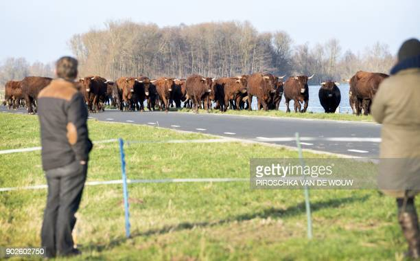 A herd of cattle is led to a higher ground as water levels rise at Munnikenland in Poederoijen The Netherlands on January 8 following heavy rains and...