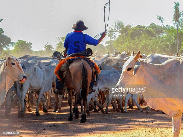 herd of cattle led by cowboy - mato grosso state stock pictures, royalty-free photos & images
