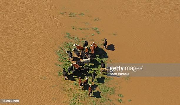 A herd of cattle look for dry ground amongst the floodwater on September 6 2010 in Wangaratta Australia Many parts of Victoria were devastated by...