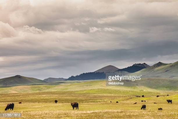 herd of cattle & mountain montana landscape - moody sky stock pictures, royalty-free photos & images