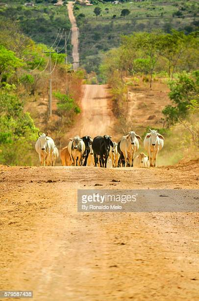 Herd of cattle on a road in northeastern Brazil, Chapada Diamantina, Brazil