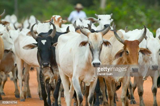 herd of cattle - manada - fotografias e filmes do acervo