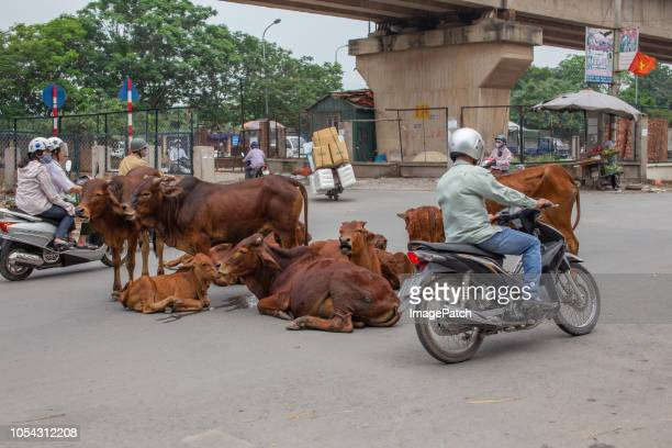 Herd of cattle sitting in middle of Asian street with traffic diverting around