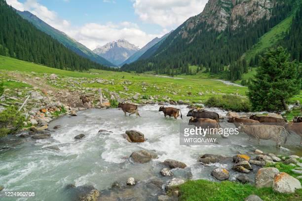 herd of cow during cross the stream at altyn arashan, kyrgyzstan - kirgizië stockfoto's en -beelden