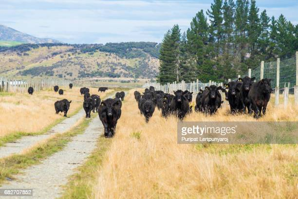herd of cow in new zealand - bullock stock photos and pictures