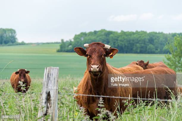 Herd of cows and calves in a spring pasture
