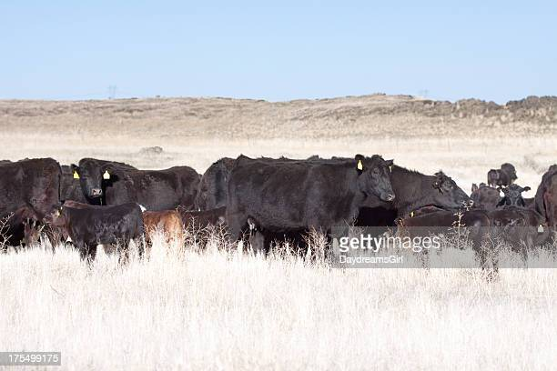 Herd of Cows and Calves on Open Range