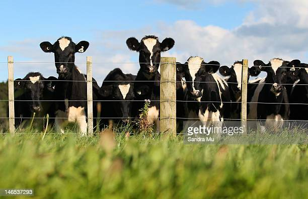 A herd of cows are seen through the lush green grass at a dairy farm on April 18 2012 in Morrinsville New Zealand Raw milk sales are growing as more...