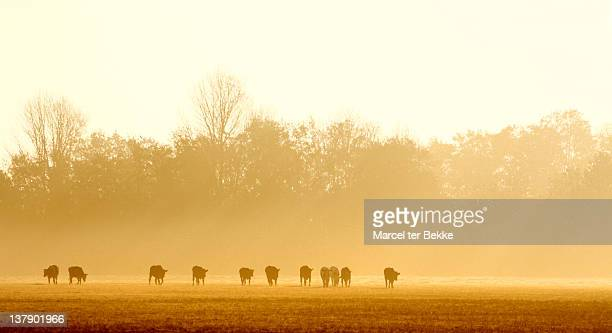 Herd of cows at sunrise