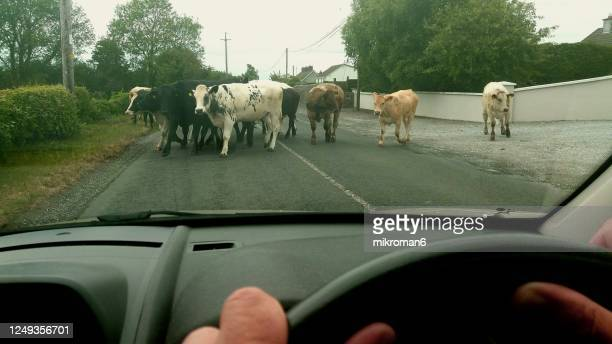 herd of cows blocking the road in ireland - humour stock pictures, royalty-free photos & images