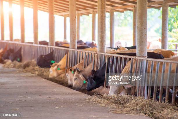 herd of cows eating hay in cowshed on  beef cattle farm - allevamento foto e immagini stock
