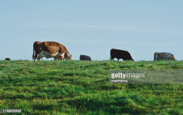 a herd of cows grazing on a hill, shropshire, united kingdom - grazing stock pictures, royalty-free photos & images