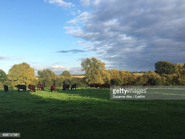 herd of cows grazing on grassy field against sky - grazing stock pictures, royalty-free photos & images