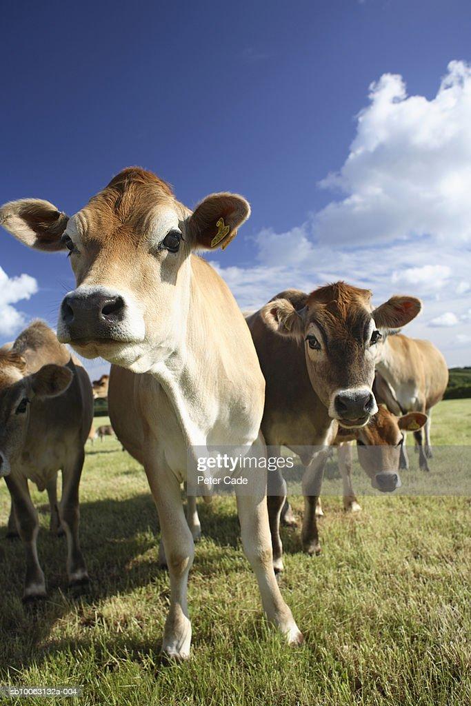 Herd of cows in field : Stock Photo