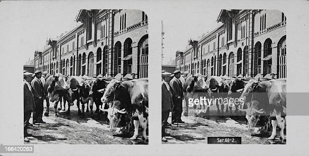 Herd of cows in front of a slaughterhouse. About 1910. Stereo photograph. Kuhherde vor einem Schlachthof. Um 1910. Stereophotographie.