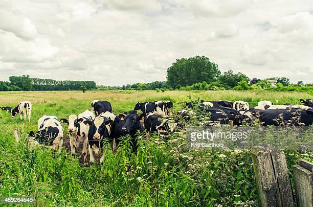 Herd of cows in large field