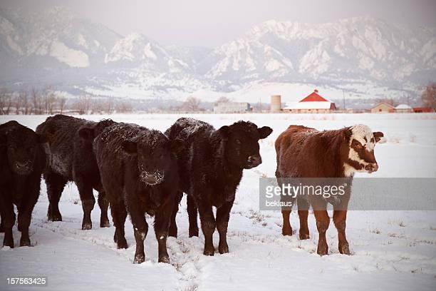 Herd of Cows in Snow
