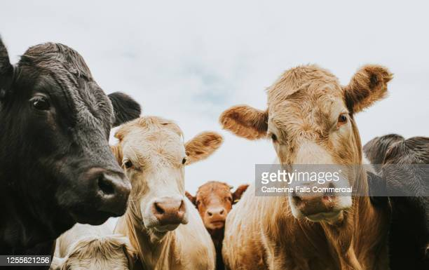 herd of cows looking down, directly at the camera. - domestic animals stock pictures, royalty-free photos & images
