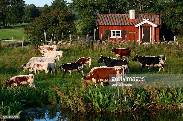 Herd of cows on farm